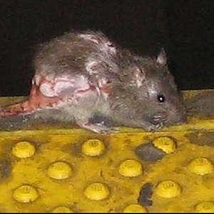фото крысы страшной